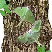 Walnut Tree and Moths